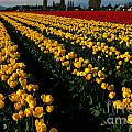 Tulip Fields Forever by Bob Christopher