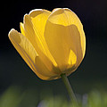 Tulip Flower Series 1 by Heiko Koehrer-Wagner