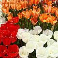 Tulip Flowers Festival Art Prints Floral Baslee by Baslee Troutman