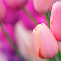 Tulip Flowers (tulipa 'tenderness') by Maria Mosolova