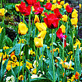 Tulip Garden by Bill Cannon