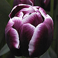 Tulip Gavota by Nancy Griswold