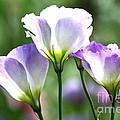 Tulip Gentian Flowers by Byron Varvarigos