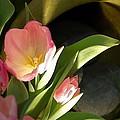 Tulip Lights by Victoria Leyva