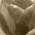 Tulip Named Passionale by J McCombie