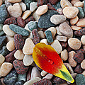 Tulip Petal And Wet Stones by Garry Gay
