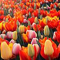 Tulip Sunset 2 by Lauren Nicholson