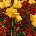 Tulip Sunshine by David Dunne