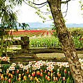 Tulip Time In The Skagit Valley by Beverly Hanson
