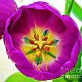 Tulip by Tisha Clinkenbeard