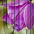 Tulip by Trish Tritz