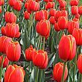 Tulips At Boston Public Garden by John Burk