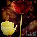 Tulips At Dusk by Silvia Ganora