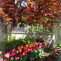 Tulips By Dappled Fence by Susan Savad