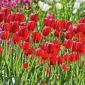 Tulips Galore by Carolyn Fox