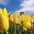Tulips In A Field And A Windmill At by Craig Tuttle