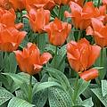 Tulips (tulipa Greigii 'grower's Pride') by Adrian Thomas