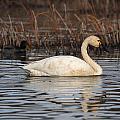 Tundra Swan by Doug Lloyd