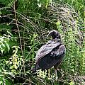 Turkey Vulture - Buzzard by EricaMaxine  Price