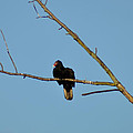 Turkey Vulture by Bill Cannon