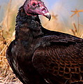 Turkey Vulture by Bruce J Robinson