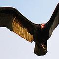 Turkey Vulture Evening Flight by Roena King