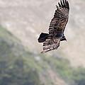 Turkey Vulture by Gregory Scott