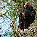 Turkey Vulture by Marx Broszio