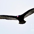 Turkey Vulture by Ronald Grogan