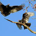 Turkey Vultures by Doris Potter