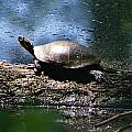 Turtle I by Joe Faherty