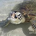 Turtle Love  by Lori Whalen