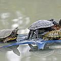 Turtle Pileup by Teresa Blanton