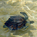 Turtle Ripple by Stacey Robinson