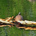 Turtle Sunbathing  by Ms Judi