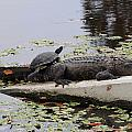 Turtle Takes A Gator Ride by Don McBride
