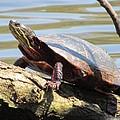 Turtle by Todd Sherlock