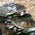 Turtle Two Turtle Love by J Vincent Scarpace