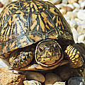Turtle With Red Eyes On Rocks by Susan Leggett