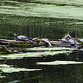Turtles On Log Scarboro Pond#1  by Gordon Gaul