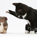 Tuxedo Kitten With Guinea Pig by Mark Taylor