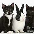 Tuxedo Kittens With Dutch Rabbit by Mark Taylor