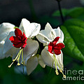 Twin Bleeding Heart Vine Flowers by Eva Thomas