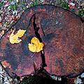 Twin Fallen Leaves by Debbie Portwood