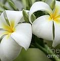 Twin Plumeria Flowers by Sabrina L Ryan