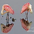 Twins Spoonbills On The Lake by TJ Baccari