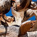 Twisted Bristlecone Pine by Olivier Steiner