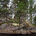 Twisted Pine by Jouko Lehto