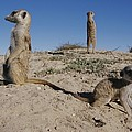 Two Adult Meerkats Suricata Suricatta by Mattias Klum