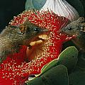 Two Australian Honey Possums Feed by Jonathan Blair